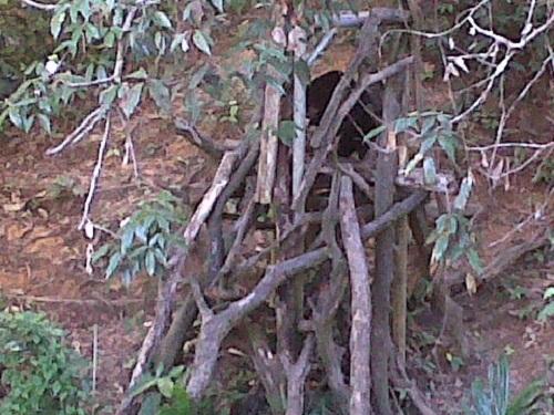 Salah satu beruang madu bersembunyi di balik pepohonan