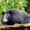 Beruang sedang bersantai di atas panggung