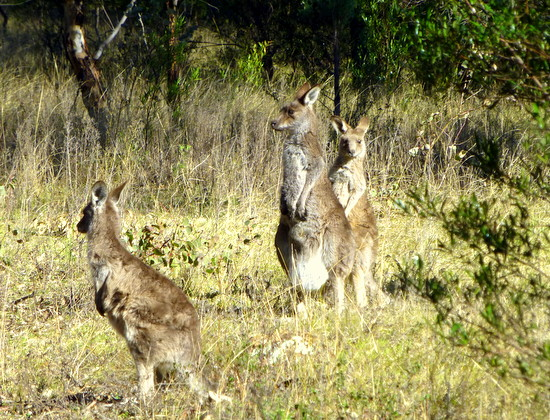 Kangguru sebagai hewan liar di Australia yang paling banyak