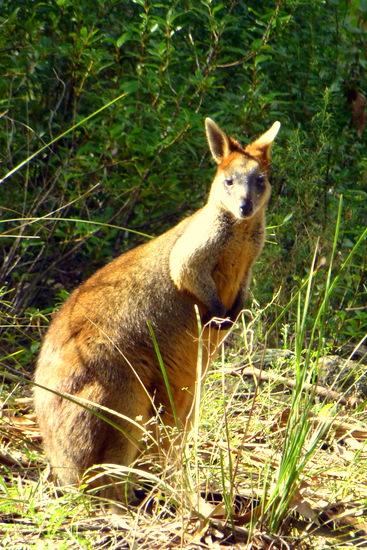 Wallaby - sepupu kangguru