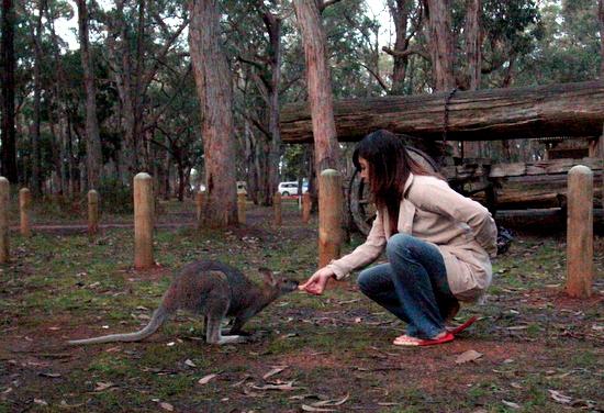 Memberi makan hewan liar di benua Australia