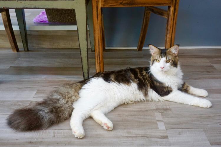 Kucing Maine Coon yang besar