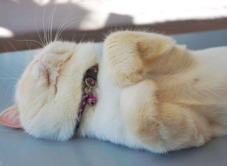 Persian Cat sedang tidur