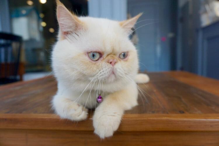 Si hidung pesek Persian Cat